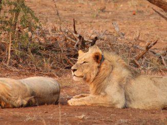 Lions_iSimangaliso