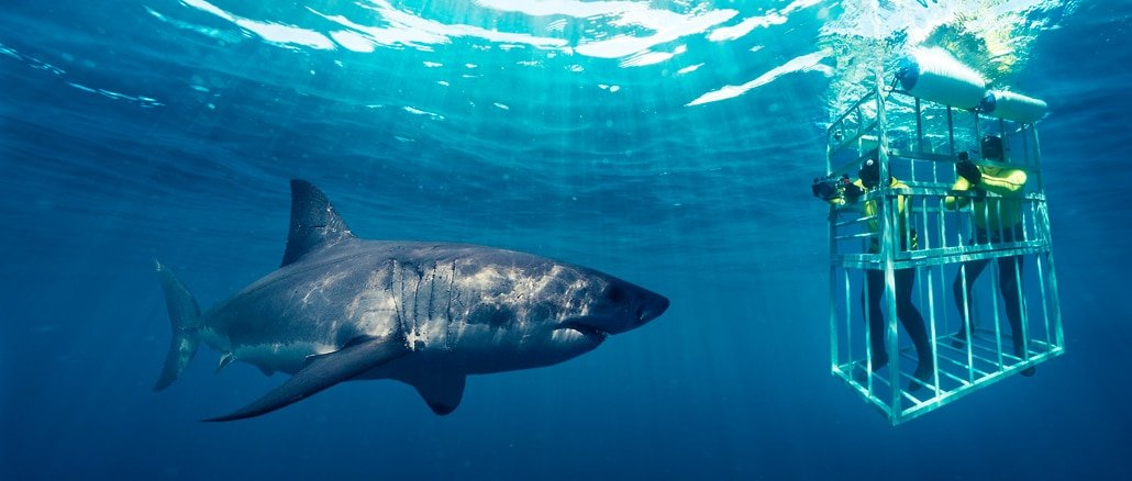 Great White Shark Cage Dives
